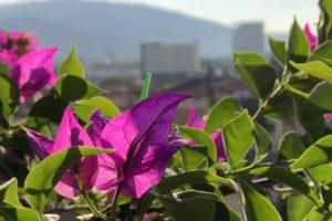 Bouganvillea fiorita