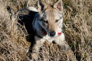 cane lupo cecoslovacco aki d.V.A. 015