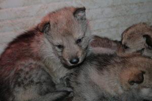 cane lupo cecoslovacco b d.V.A. 015