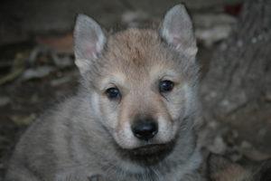 cane lupo cecoslovacco b d.V.A. 050