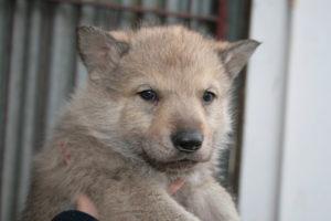 cane lupo cecoslovacco b d.V.A. 105