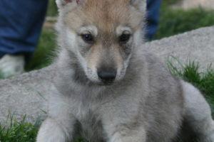 cane lupo cecoslovacco balatron 003