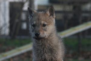 cane lupo cecoslovacco brigitte d.V.A. 025