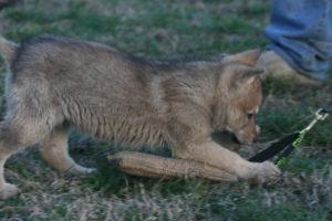 cane lupo cecoslovacco brigitte d.V.A. 070