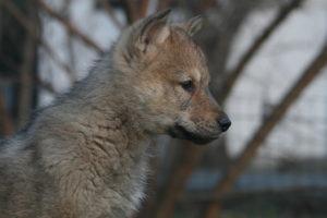 cane lupo cecoslovacco brigitte d.V.A. 225