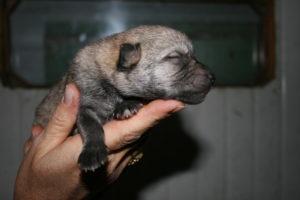 cane lupo cecoslovacco c d.V.A. 030