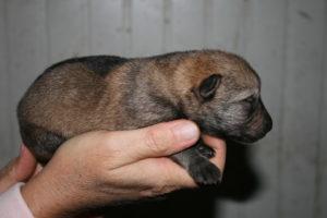 cane lupo cecoslovacco c d.V.A. 040