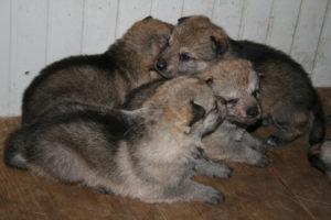 cane lupo cecoslovacco c d.V.A. 130