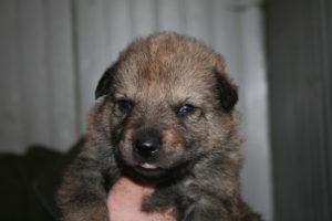 cane lupo cecoslovacco c d.V.A. 135