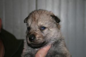cane lupo cecoslovacco c d.V.A. 145