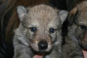 cane lupo cecoslovacco c d.V.A. 200