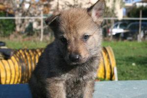 cane lupo cecoslovacco c d.V.A. 245