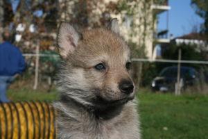 cane lupo cecoslovacco c d.V.A. 325