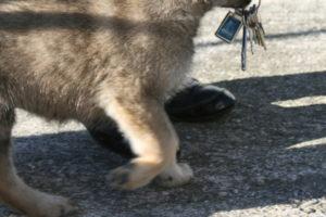 cane lupo cecoslovacco c d.V.A. 420