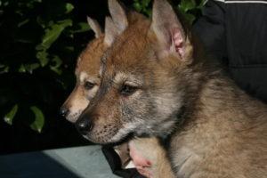 cane lupo cecoslovacco c d.V.A. 625