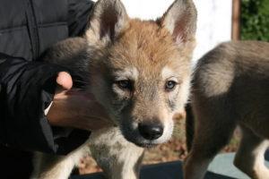 cane lupo cecoslovacco c d.V.A. 635