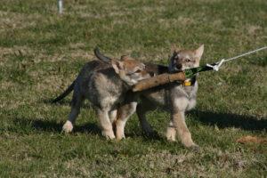 cane lupo cecoslovacco chimalis d.V.A. 135
