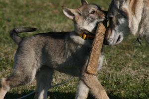 cane lupo cecoslovacco chimalis d.V.A. 150