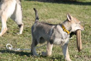 cane lupo cecoslovacco chimalis d.V.A. 155