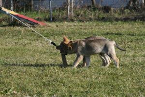 cane lupo cecoslovacco chimalis d.V.A. 170