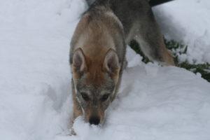 cane lupo cecoslovacco chimalis d.V.A. 425