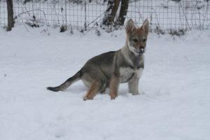 cane lupo cecoslovacco chimalis d.V.A. 430