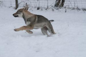 cane lupo cecoslovacco chimalis d.V.A. 435