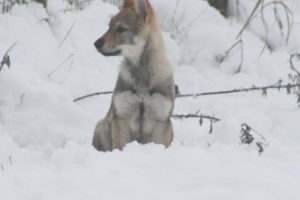 cane lupo cecoslovacco chimalis d.V.A. 475