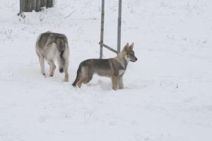 cane lupo cecoslovacco chimalis d.V.A. 485