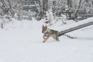 cane lupo cecoslovacco chimalis d.V.A. 500