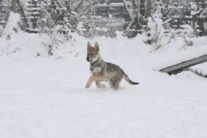 cane lupo cecoslovacco chimalis d.V.A. 505