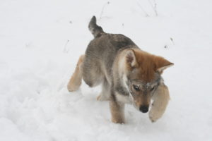 cane lupo cecoslovacco chimalis d.V.A. 530