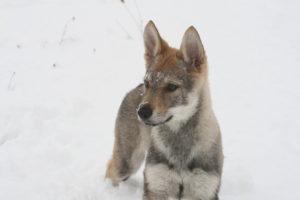 cane lupo cecoslovacco chimalis d.V.A. 535