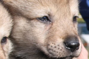cane lupo cecoslovacco cochise d.V.A. 005