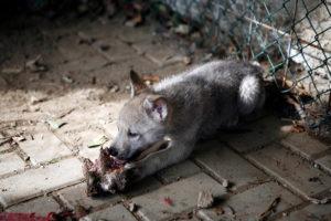 cane lupo cecoslovacco cucc vik tac d.V.A. 005
