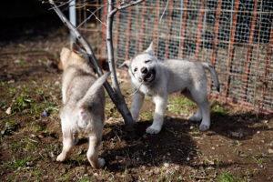cane lupo cecoslovacco cucc vik tac d.V.A. 055