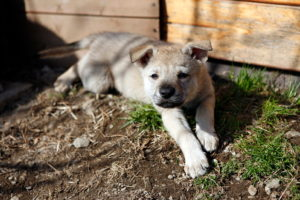 cane lupo cecoslovacco cucc vik tac d.V.A. 090
