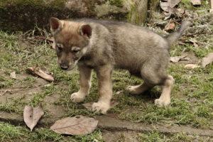 cane lupo cecoslovacco denver d.V.A. 160