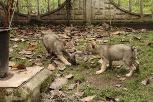 cane lupo cecoslovacco denver d.V.A. 175