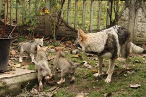 cane lupo cecoslovacco denver d.V.A. 180