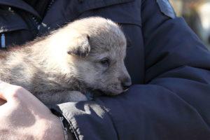 cane lupo cecoslovacco denver d.V.A. & luna 110
