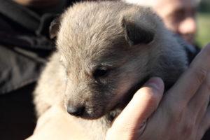 cane lupo cecoslovacco denver d.V.A. & luna 120