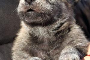 cane lupo cecoslovacco denver d.V.A. & luna 140