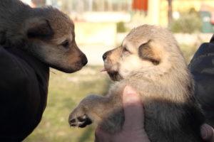 cane lupo cecoslovacco denver d.V.A. & luna 215