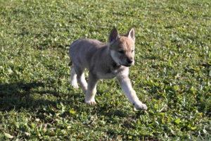 cane lupo cecoslovacco denver d.V.A. & luna 285