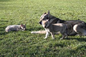cane lupo cecoslovacco denver d.V.A. & luna 310