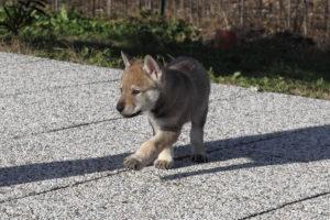 cane lupo cecoslovacco denver d.V.A. & luna 395