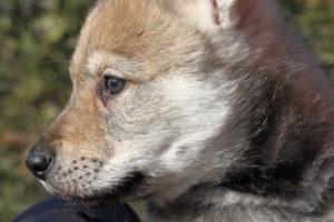 cane lupo cecoslovacco denver d.V.A. & luna 430