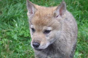 cane lupo cecoslovacco rebecca & cuccioli 040