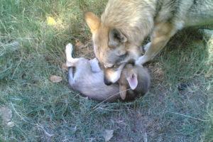 cane lupo cecoslovacco terry & cuccioli 80